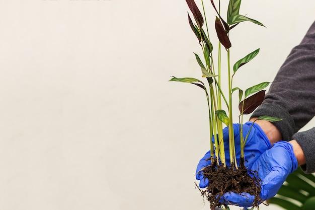 Pianta con radici ktenante in mano sullo sfondo del muro. concetto di trapianto di piante.