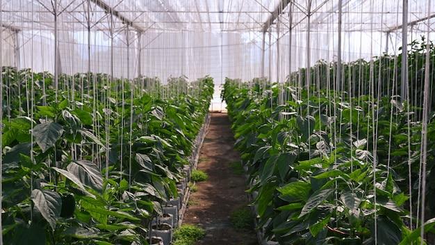 Piantagione di peperoni nella serra agricola