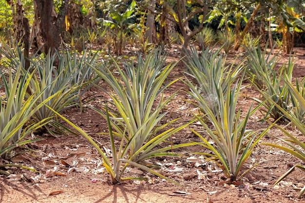 Ananas coltivato in piantagione della specie ananas comosus