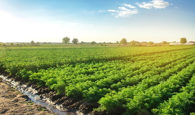 Paesaggio della piantagione di cespugli di carote verdi agricoltura biologica europea coltivazione alimentare in fattoria