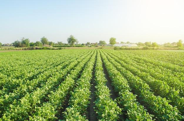Paesaggio della piantagione di cespugli di patate verdi