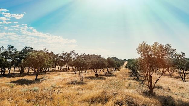 Piantagione di ulivi
