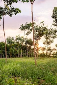Piantagione o albero della gomma para o giardino della gomma dell'albero nel sud della thailandia
