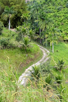 Piantagione di palma da pesca, o palmito pupunha in portoghese