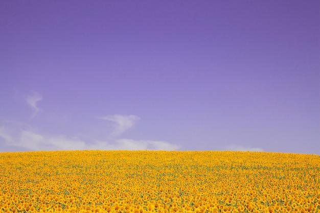 Piantagione di girasoli con un giorno di cielo blu Foto Premium