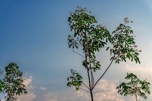 Gomma dell'albero della piantagione o gomma dell'albero del lattice o albero della gomma para nel sud della thailandia