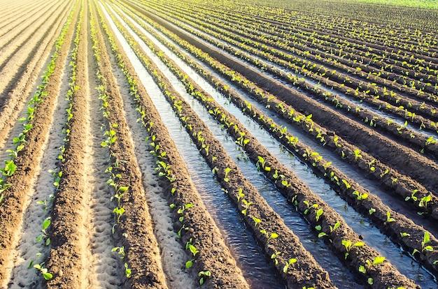 La piantagione di giovani piantine di melanzane viene irrigata attraverso canali di irrigazione
