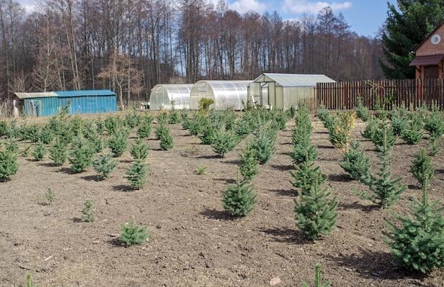 Piantagione di giovani alberi di natale di abete verde, abete nordmann e un'altra coltivazione di piante di abete, pronti per la vendita per le feste di natale e capodanno