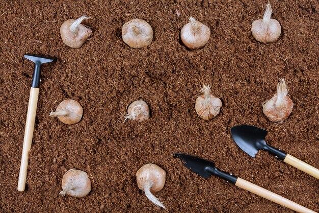 Piantare un croco di zafferano autunnale nel terreno da un agricoltore con attrezzi da giardino