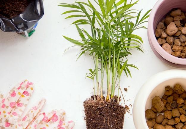 Concetto di impianto. palma su uno sfondo bianco accanto a attrezzi da giardinaggio. copia spazio