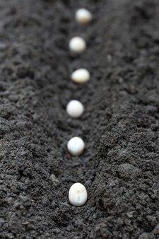 Piantare semi di pisello in un terreno fertile