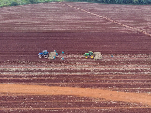 Piantagione di canna manuale. uomini sotto il sole caldo che piantano la canna con le mani - pederneiras-sao paulo-brasil - 20/03/2021.