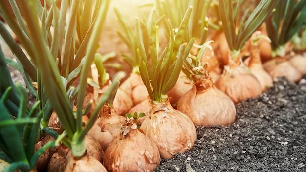 Piantare la cipolla in giardino. piantagione nell'agricoltura dell'orto. bagliore di luce solare copyspace