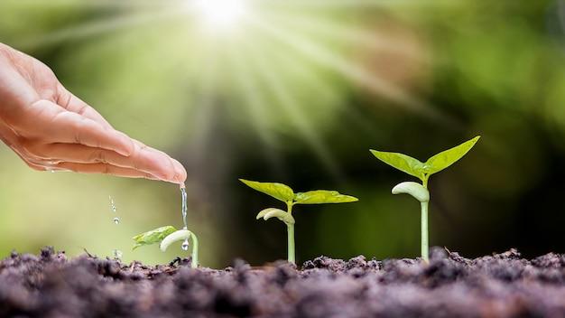 Piantare piante su terreno fertile e annaffiare a mano le piante, rimboschimento e idee del contadino.