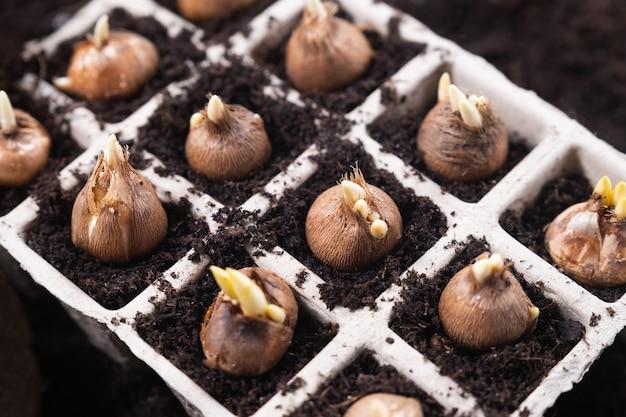 Piantare fiori primaverili. attrezzi da giardinaggio e bulbi di croco piantati in vasi di torba. vista dall'alto.