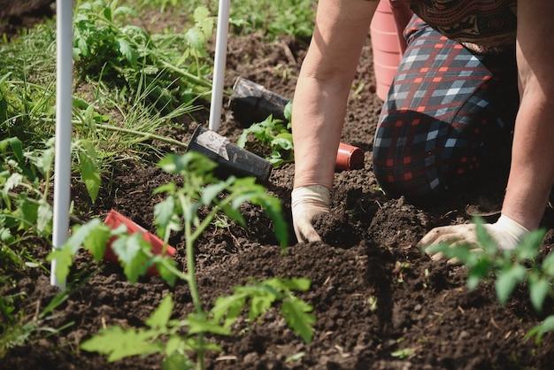 Piantare piantine di pomodoro con le mani di un agricoltore attento nel loro giardino