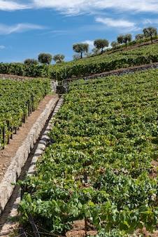 Impianto di viti per la raccolta e la lavorazione del vino