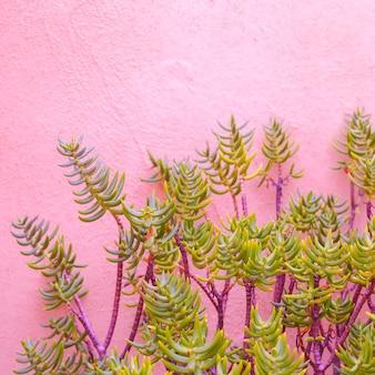 Piante sul concetto di moda rosa. cactus su un muro di sfondo rosa