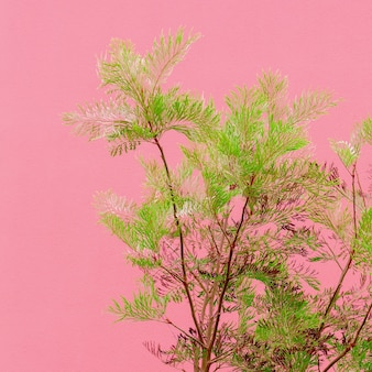 Piante sul concetto di moda rosa. albero sul fondo rosa della parete. canarie