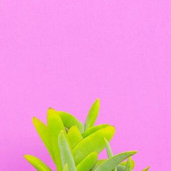 Piante sul concetto di moda minimale rosa. cactus verde su muro rosa