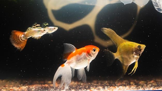 Dumbo betta splendens in materie plastiche che combatte pesce