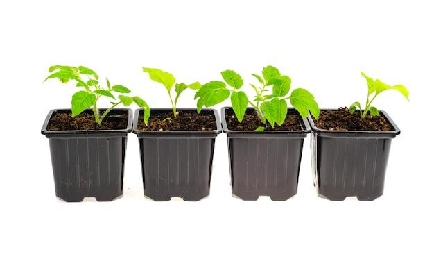 Contenitori di plastica per piantine con piantine di ortaggi che crescono nel terreno