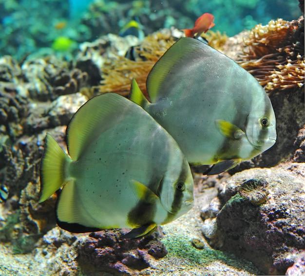 Platax orbicularis