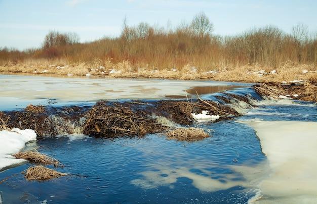 Castoro di platino sul fiume. castoro platino. beaver ha costruito una diga. una diga di rami, ramoscelli, alberi.