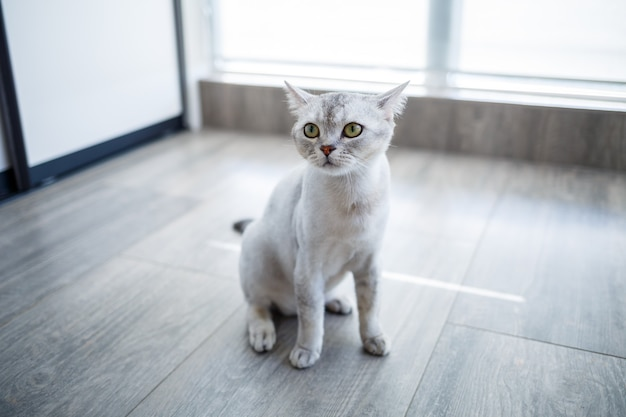 Il simpatico gatto britannico a pelo corto si siede comodamente sul pavimento e guarda la telecamera a casa