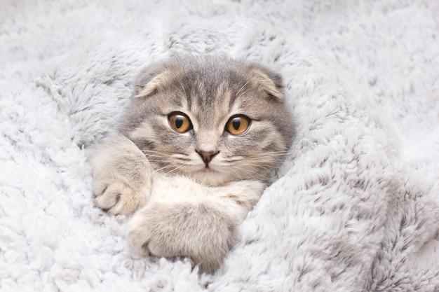 Gattino giocoso e felice nel letto ritratto di simpatico gatto grigio cat.scottish.