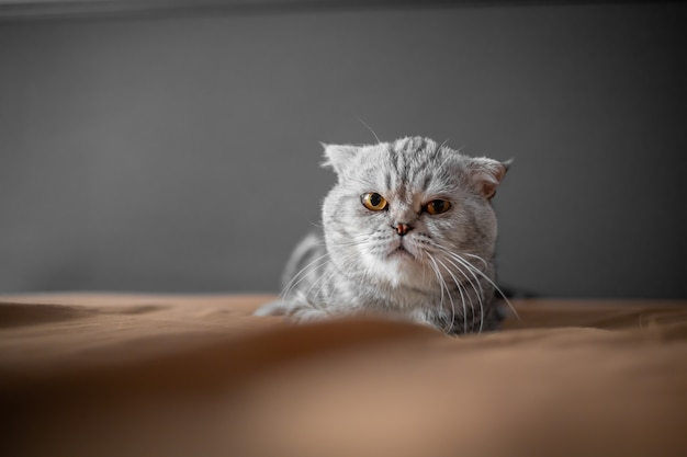 Giocoso gatto scottish fold sul letto. il gatto scottish fold del primo piano è così carino.