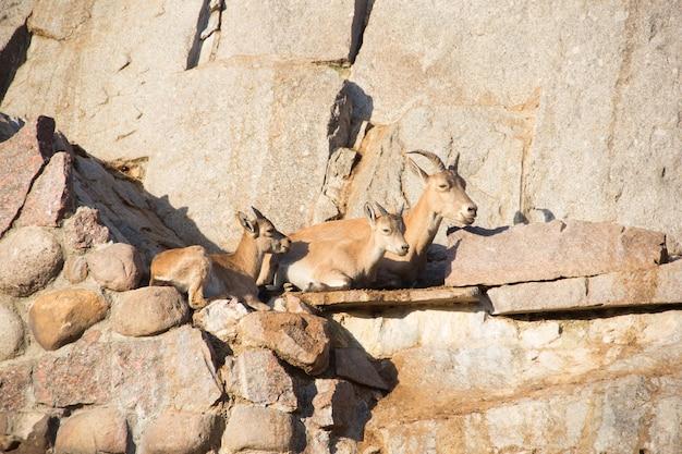 Giocare a capre sulle pietre. capra di montagna con bambini.