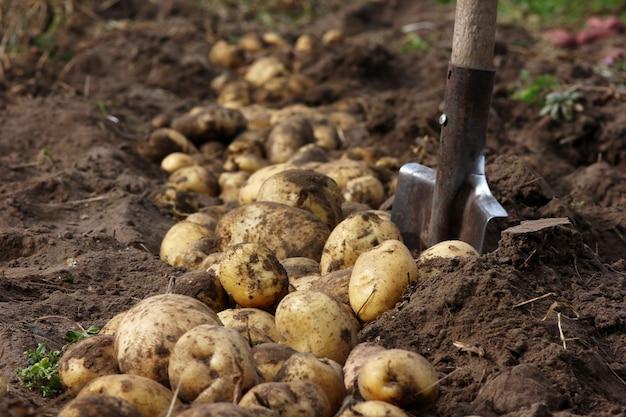 Abbondante raccolta di patate su una pala da giardino