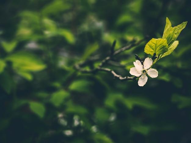Un fiore di pruno su uno sfondo serale. sfondo serale estivo. albero di primavera