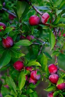 Prugna che cresce su albero con foglie verdi in fattoria