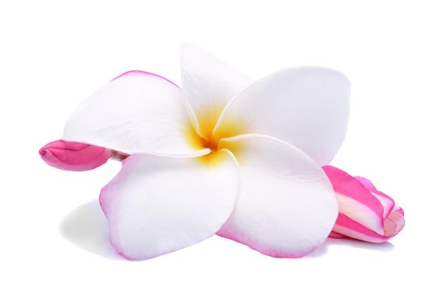 Fiore di plumeria isolato su bianco