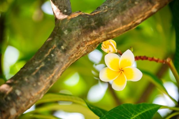 I fiori di plumeria sono fragranti e bellissimi fiori in fiore al mattino