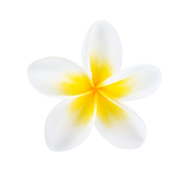 Plumeria, fiore di frangipane isolato su sfondo bianco