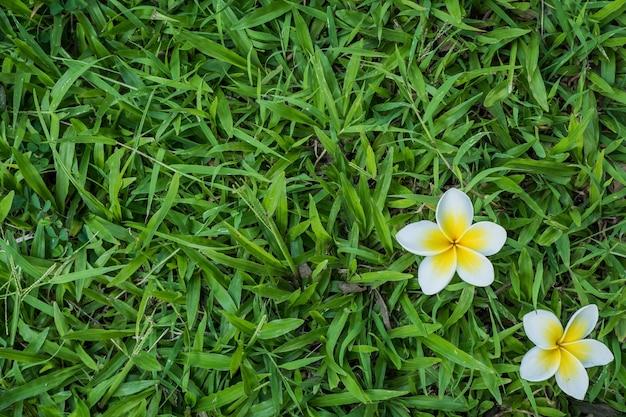 Plumeria su priorità bassa dell'erba