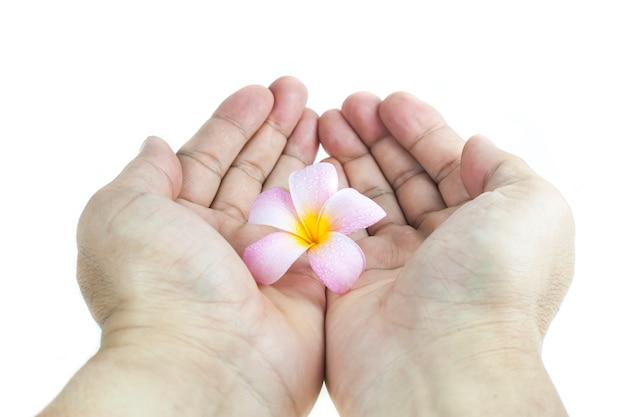 Plumeria in mano su sfondo bianco. Foto Premium