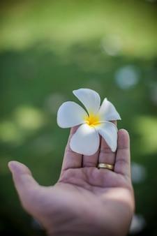 Plumeria in mano per te