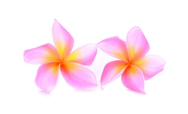 Colore rosa plumeria su sfondo bianco