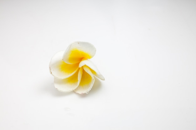 Plumeria su sfondo bianco.