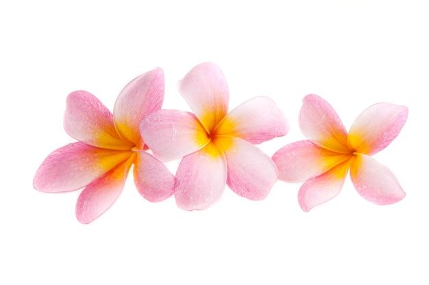 Plumeria su sfondo bianco. Foto Premium