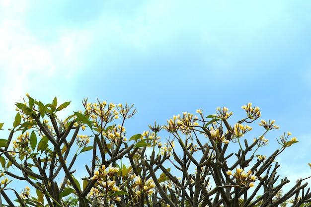 Fiore giallo bianco del mazzo di plumeria che fiorisce nel giardino
