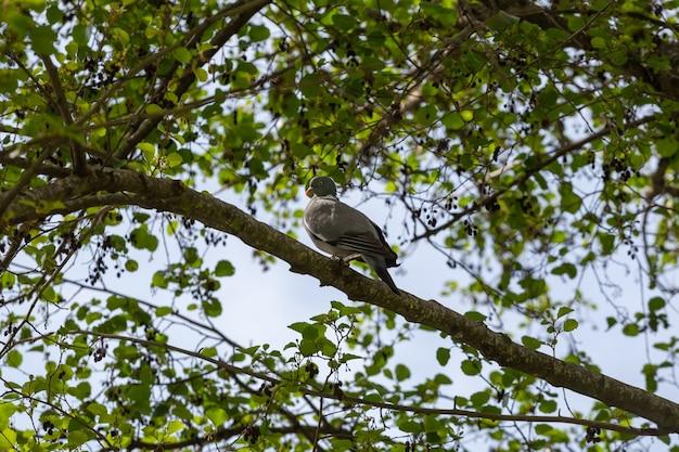 Un colombaccio grassoccio, columba palumbus, seduto su un ramo nel suo ambiente naturale durante la primavera