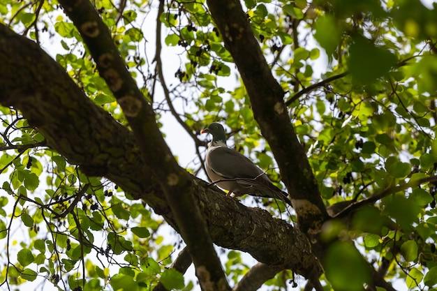 Un colombaccio grassoccio, columba palumbus, seduto su un ramo nel suo ambiente naturale in primavera
