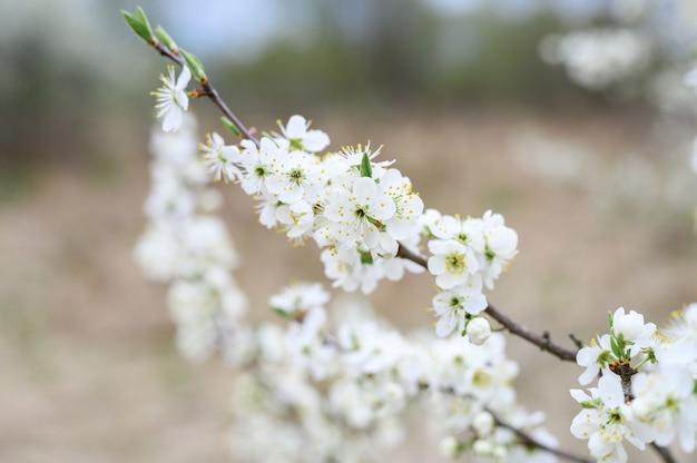 Le prugne sbocciano fiori bianchi all'inizio della primavera in natura