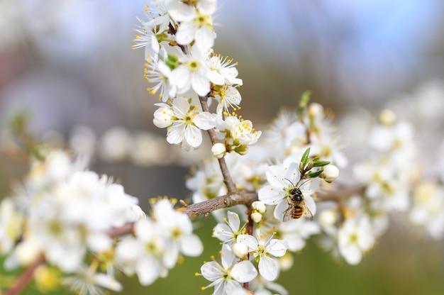 Le prugne sbocciano fiori bianchi all'inizio della primavera in natura Foto Premium