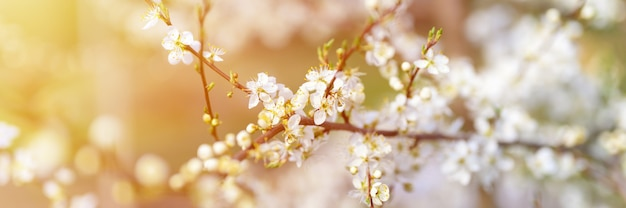 Le prugne o le prugne sbocciano fiori bianchi all'inizio della primavera in natura. messa a fuoco selettiva. banner. bagliore